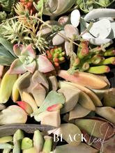 Succulent Cuttings and Leaves Packs.