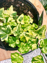 Variegated Ivy (Plant yellow)