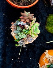 Baby Succulents on Pumpkin / Halloween