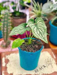 Caladium Bicolor Sherry