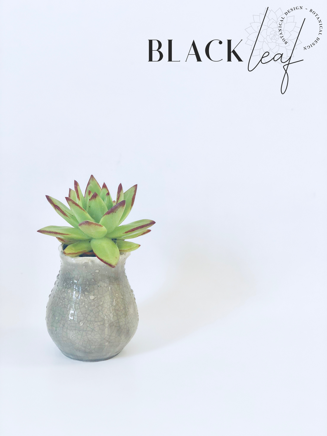Echeveria Lipstick in ceramic pot.