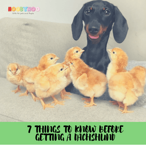 7 things to know before getting a Dachshund an interview with: Eveline and Loulou