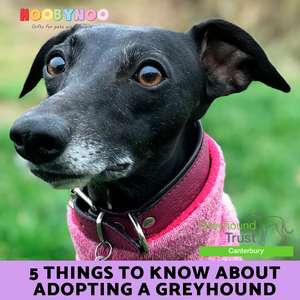 5 Things to Know about Adopting A Greyhound