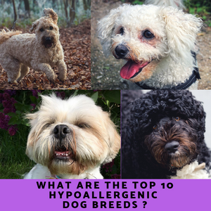 Top 10 Hypoallergenic Dog Breeds