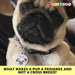 Pug puppy wearing a hoobynoo pet tag, What makes a pup a pedigree and not a cross breed