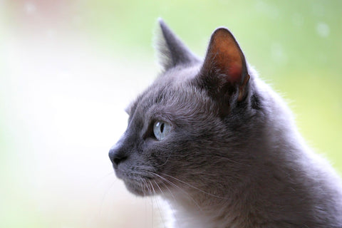 pawfect blue eyed cat