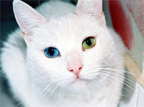 two colour eyed cat