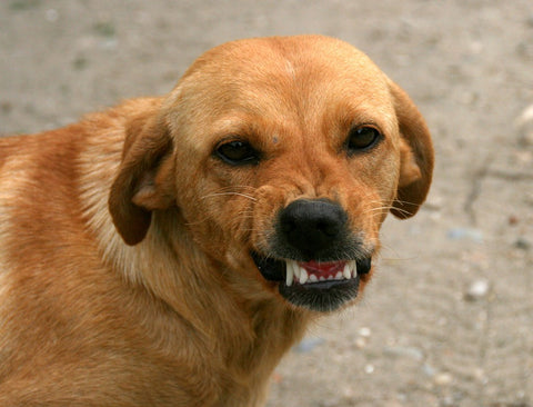 dog angrily smiling, this is one upset dog ready to attack