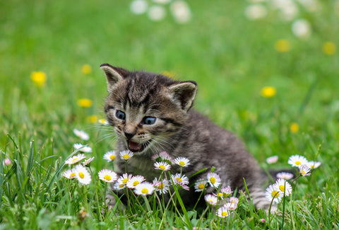 Kitten meowing amongst some daisies