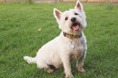 west highland terrier dog breed information