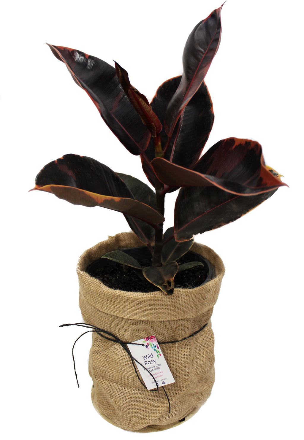 Variegated Ruby Ficus