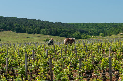 A vineyard worker near Vosne-Romanee in Burgundy