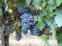 Sangiovese-grapes