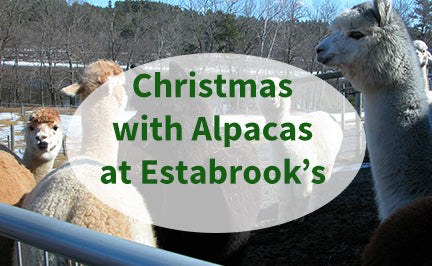 Christmas with Alpacas at Estabrook's Nursery 2019