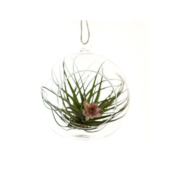 Mills N Bloom - Medium Round Glass Hanging Terrarium.