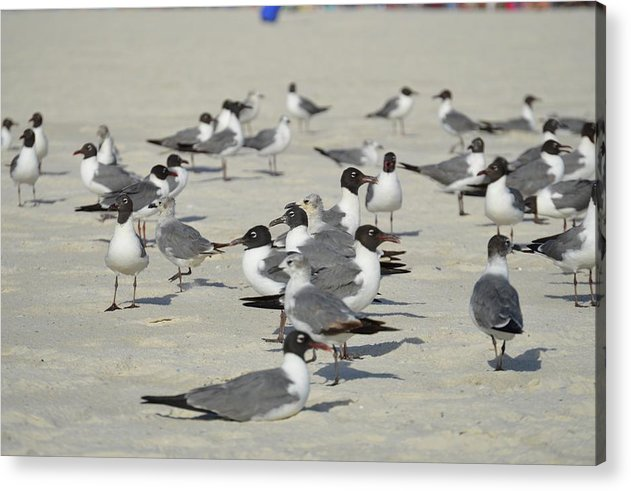 Seagulls at the Beach - Acrylic Print