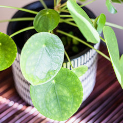 Looking onto a table with a Chinese Money Plant sitting on it.