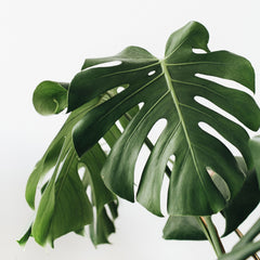 Close up of a few Monstera leaves.