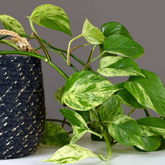 Pothos plant close up in a black and white woven plant holder.