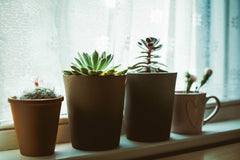 4 small plants sitting on a window ledge in terracotta pots, the last plant is in an old mug.