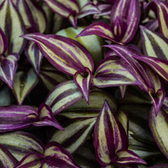 Close up of the Wandering Jew plant, it's leaves are green with purple striations.