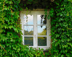 Outside window covered in green ivy