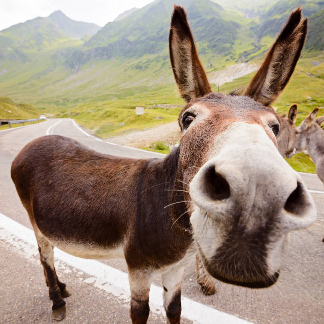 Donkeys & Distraction