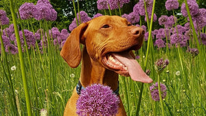 Spring Allergies in Pets