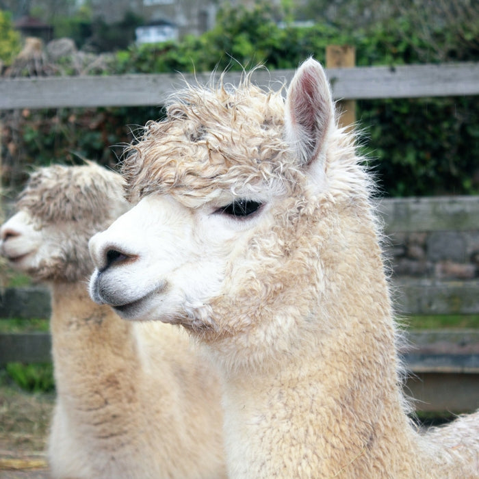 shop llama and alpaca