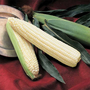 Silver Queen Hybrid Sweetcorn