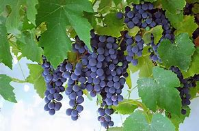 Concord Seedless Grapes