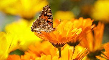3 Things That Make Calendula Special