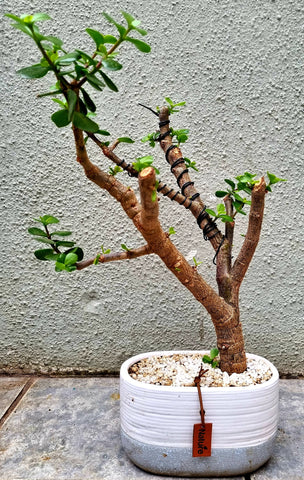 Portulacaria Afra (Spekboom) Bonsai - Trunk Width 3cm - Tree 42cm (H) x 28cm (W)