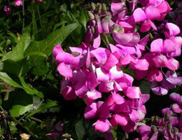 Fabaceae	Dipogon lignosus Cape Sweet Pea / pack of seeds