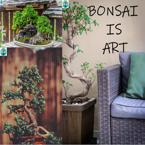 Bonsai Grow kit Acacia Erioloba White pot