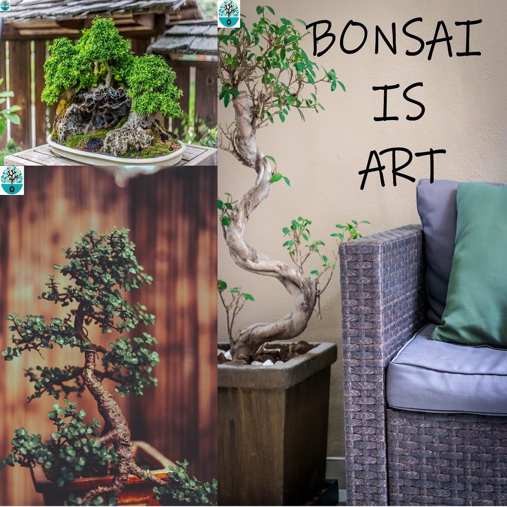 Bonsai Grow kit Diospyros Glabra White pot