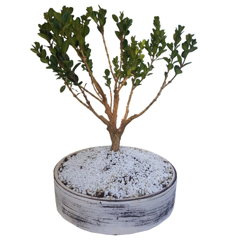 Image of Buxus Sempervirens Faulkner - African little leaf boxwood bonsai tree