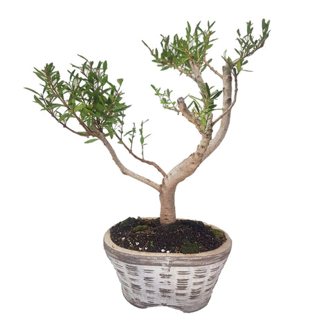 Diospyros Whyteana - Bladder nut Bonsai Tree Large