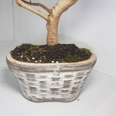 Image of Diospyros Whyteana - Bladder nut Bonsai Tree Large