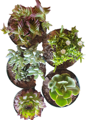 Seedleme Assorted succulent cuttings - ready to plant - 17 randomly selected succulent cuttings or bare rooted