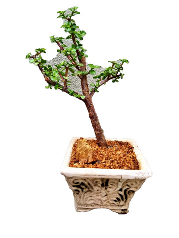 Image of Portulacaria Afra (Spekboom) Bonsai - Trunk Width 3cm - Tree 38cm (H) x 30cm (W)