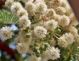 Acacia rehmanniana / pack of seeds
