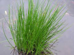 Image of Juncus effusus / pack of 5 seeds