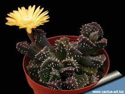 Aloinopsis setifera / pack of 5 seeds