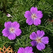 Geranium incanum / pack of seeds