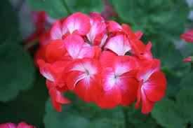 Pelargonium sp / pack of seeds