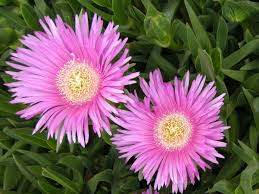 Carpobrotus acinaciformis / pack of seeds