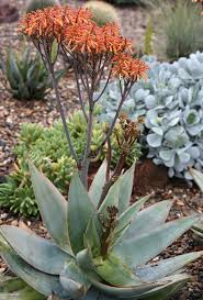 Image of Aloe striata / pack of 5 seeds