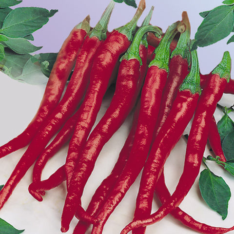 Long Red Slim Cayenne chilli pepper - 35 Seeds