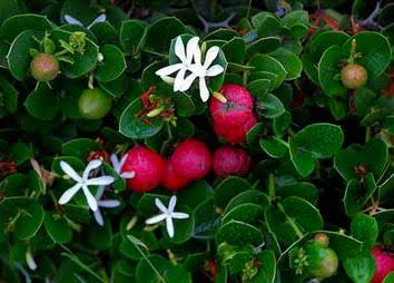 Image of Carissa macrocarpa / pack of 5 seeds num num